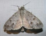 Acronicta lepusculina (?) - 9205 - Cottonwood Dagger Moth