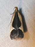 Dichomeris flavocostella - 2295 - Cream-edged Dichomeris Moth