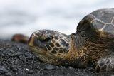 Sea Turtle on black sand beach