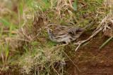 Savannah Sparrow (Passero delle praterie)