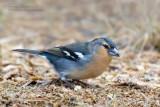 Chaffinch (Fringilla coelebs ssp moreletti)