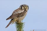 Hawk Owl (Ulula)