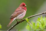 Scarlet Rosefinch (Ciuffolotto scarlatto)