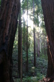 A quiet moment among the redwoods