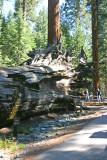 Fallen Monarch tree