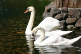 White swans at the Embassy Suites