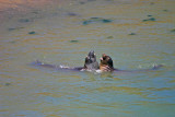 Battling elephant seals at Drake's Beach