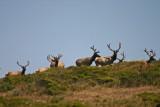 Tule elk in the Point Reyes Elk Preserve