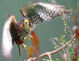 nz_falcon_wings