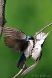 Hirondelles bicolores #3755.jpg