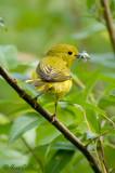Paruline jaune #3896.jpg