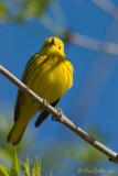 Paruline jaune #1798.jpg