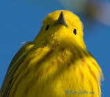 Paruline jaune - Yellow Warbler - 17 photos