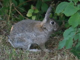 Europeisk kanin - European rabbit (Oryctolagus cuniculus)