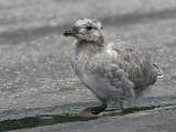 Fiskmås - Common Gull (Larus canus)
