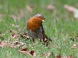 Rödhake - Robin (Erithacus rubecula)