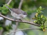 Ärtsångare - Lesser (Whitethroat Sylvia curruca)