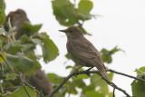 Stare - Starling (Sturnus vulgaris)