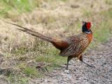 Fasan - Pheasant (Phasianus colchicus)