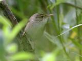 Rörsångare - Reed Warbler (Acrocephalus scirpaceus)