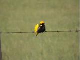 030114 hh Yellow-crowned bishop Wakkerstrom.jpg