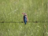 030114 i Malachite kingfisher Wakkerstrom.jpg