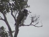 030117 f Martial eagle Kruger NP.jpg