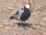 030118 f Blacksmith lapwing Kruger NP.jpg