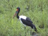 030118 mmm Saddle-billed stork Kruger NP.jpg