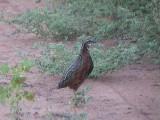 030118 q Harlequin quail Kruger NP.jpg