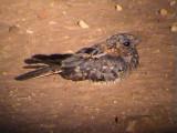 030118 uu Fiery-necked nightjar Kruger NP.jpg