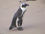 030128 l African penguin Cape of good hope.jpg
