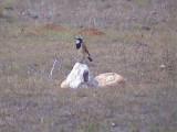 030130 e Capped wheatear De Hoop NR.jpg