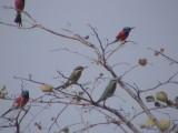 Blue-cheeked bee-eater o Northern carmine bee-eater.jpg