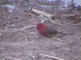 Red billed firefinch.jpg