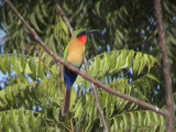 Red-throated bee-eater1.jpg