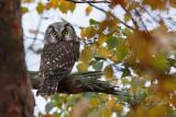 Pärluggla - Tengmalm's Owl (Aegolius funereus)