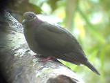 060311 f Amethyst brown-dove Camp2 Hamut.JPG