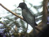 060316 j Asian drongo-cuckoo Sabang.JPG