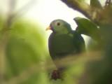 060316 m Black-chinned fruit-dove Sabang.JPG
