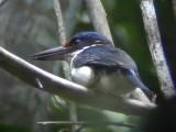 060323 p Rufous-lored kingfisher Rajah Sikatuna NP.JPG