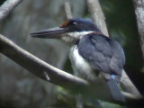 060323 pp Rufous-lored kingfisher Rajah Sikatuna NP.JPG