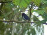 060325 mm Violet cuckoo Mt Kitanglad.JPG