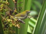 060330 i Olive-backed flowerpecker Picop.JPG