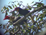 060331 gg Writhed hornbill Picop.JPG