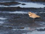 Ökenpipare - Greater Sand Plover (Charadrius leschenaultii)