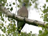 Ringduva - Woodpigeon (Columba palumbus)