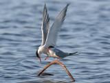 Fisktärna - Common Tern (Sterna hirundo)