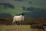 High Moor lamb