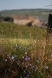 harebells in the lonnen